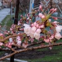 桜が開花です!