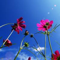 青空 de 秋の桜