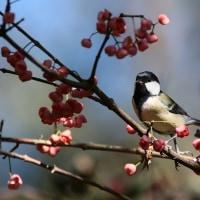 野鳥観察 シジュウカラ