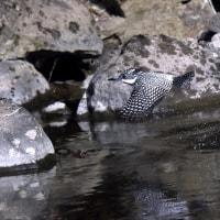 ヤマセミの水浴び
