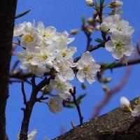 プラムの花といまだナゾの花