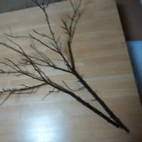 梅の枝、 県立三木山森林公園