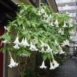 季節の花「木立朝鮮朝顔(きだちちょうせんあさがお)