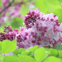 優しく撮りたい紫のリラ