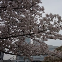 遅ればせながら、桜。