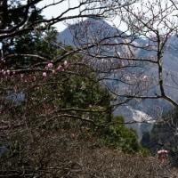 鈴鹿:御在所岳 2017-05-02 アカヤシオは裏年、さらに開花が遅れている
