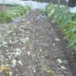 キャベツを全部収穫 跡地を耕しました