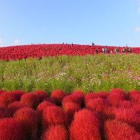 ひたち海浜公園のコキア 2016.10.19
