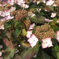 紫陽花の季節とパリジャンフリルカナリアの孵化直後