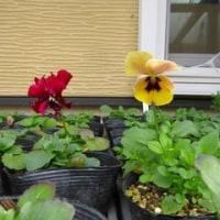三色スミレ 三色の開花が揃いました。