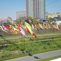 2017年4月13日大正川の鯉のぼりが始まりました。。。。