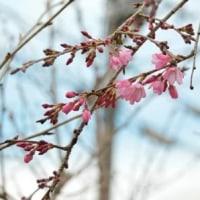 兼六園菊桜・開花3.29