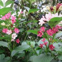 ニッコウキスゲ開花