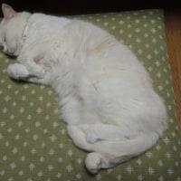 マシロのお昼寝