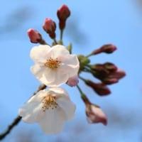 道志の桜はいつごろ咲き出すのかな?