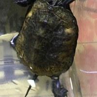 ニホンイシガメ甲長約5cmと7cm
