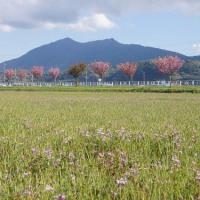 山桜と八重桜が見頃