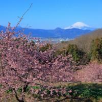 河津桜大井町