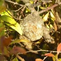 今年も川原のユキヤナギにオオカマキリの卵嚢