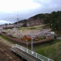 御所の台ふれあいパーク桜開花状況(H29.4.22)