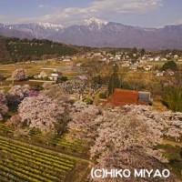 関東地方の桜も終わり2017年