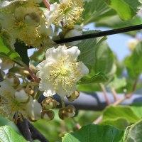 キウイフルーツ「ヘイワード」雄花が一部で咲きました。 これより花粉採取します。