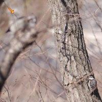 小啄木鳥(コゲラ)