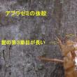 蝉の抜殻で種類の見分け