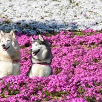 おおた芝桜・ポピーまつり