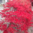 紅葉した 木、  飛来 した 白鳥たち、 庭の  薔薇