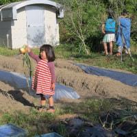 たまねぎの収穫