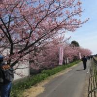 河津桜祭り&牡蠣