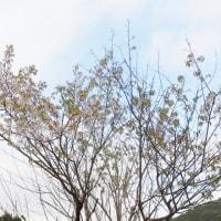 ヒマラヤ桜が咲きました