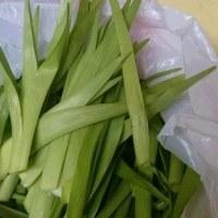 山菜の季節が始まりました(北海道沙流郡日高町)