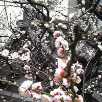 雨の中の・・・遅咲きの梅