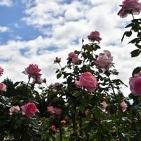 播磨中央公園 秋のバラ '16