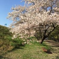 桜(ソメイヨシノ)の落果