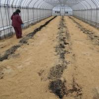 トマト定植の準備