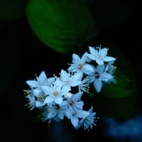 マルハウツギ (花 4425)