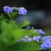 梅雨... 「雨に咲く花... 」  我がガーデンの旬なる彩