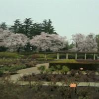 神代植物園の桜