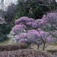 荒山公園 和泉リサイクル公園の梅