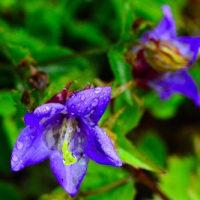 自宅に咲く花達 雨に踊れば