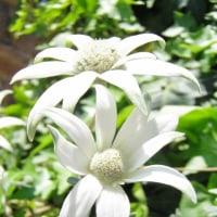 フランネル・フラワー'エンジェルスター'(Actinotus helianthi 'Angel Star')の花