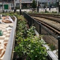 大塚駅南口駅前広場のバラ