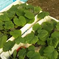 【植物】H29年  家庭菜園  苗