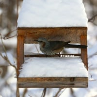 野鳥観察 ヒヨドリ