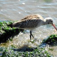 知多湾の鳥達
