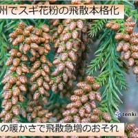 〇【スギ花粉】・・・・・・・飛散開始時期 -いよいよ本格的な花粉シーズン到来!-