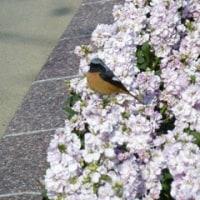 宮崎市の青島には、亜熱帯植物園が有ります。ジョウビタキという鳥も来ていました その1